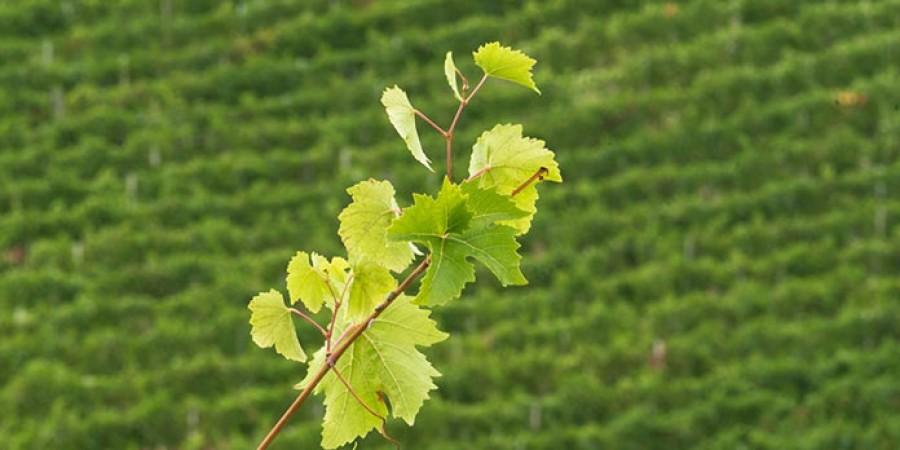 The Montestregone vineyard